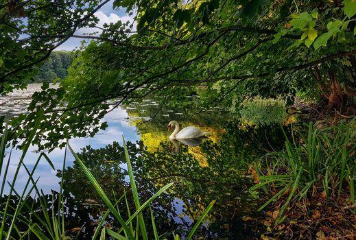 Фото бесплатно лебедь, деревья, лес