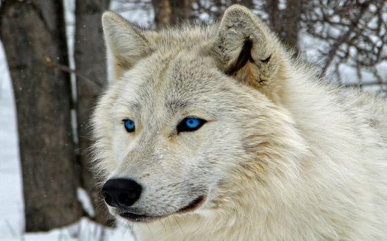 Фото бесплатно белый волк, величественная, голубые глаза