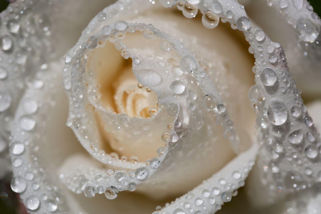 Белая роза в каплях воды · бесплатное фото