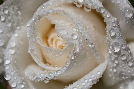 Белая роза в каплях воды