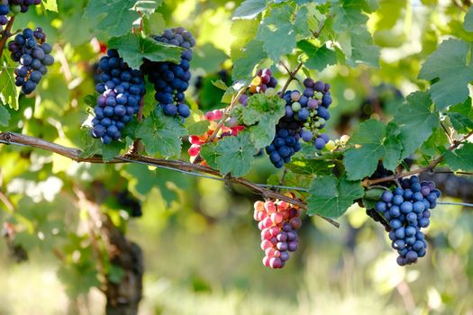 Photo free grapes, branch, bunch