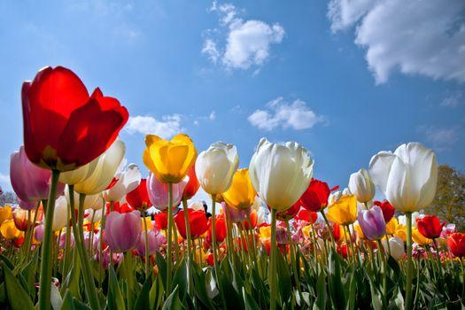 Заставка тюльпаны, поле на айфон