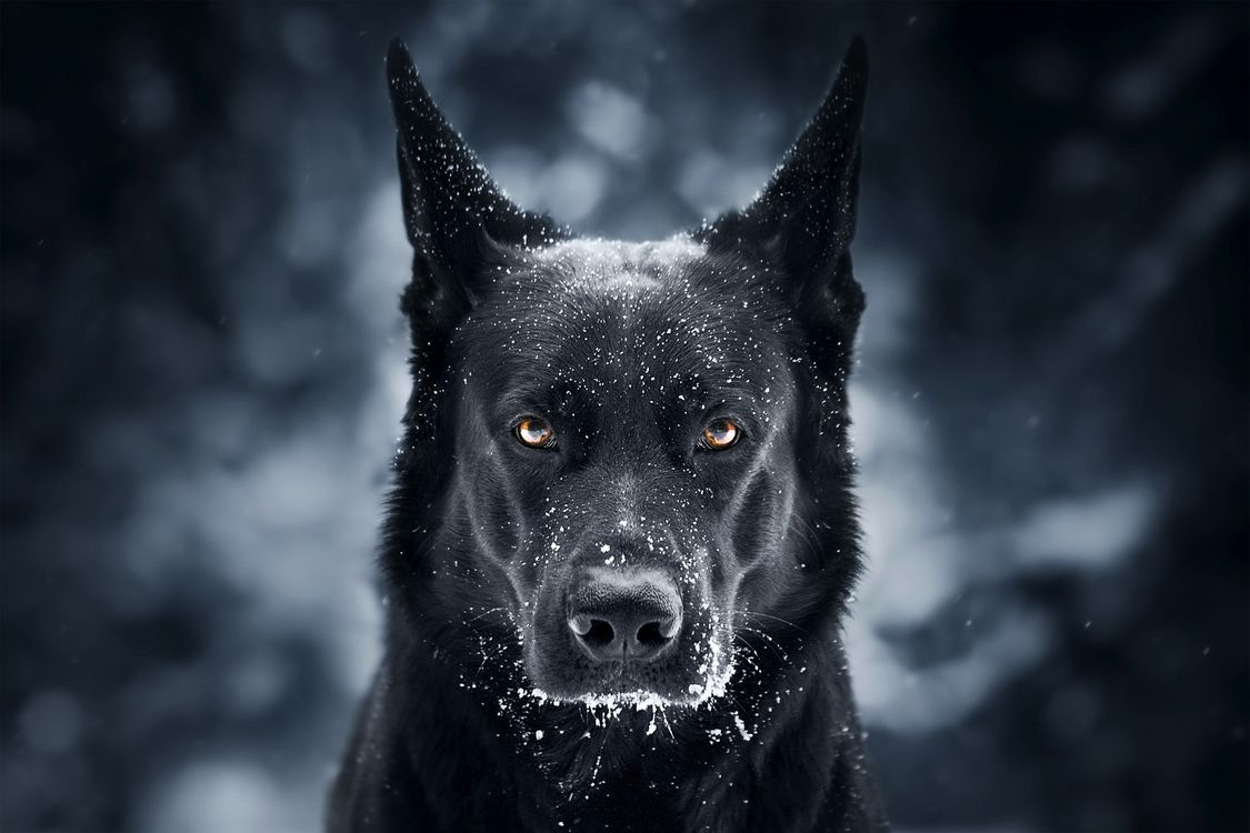 Обои Немецкая овчарка, собака, домашнее животное картинки на телефон