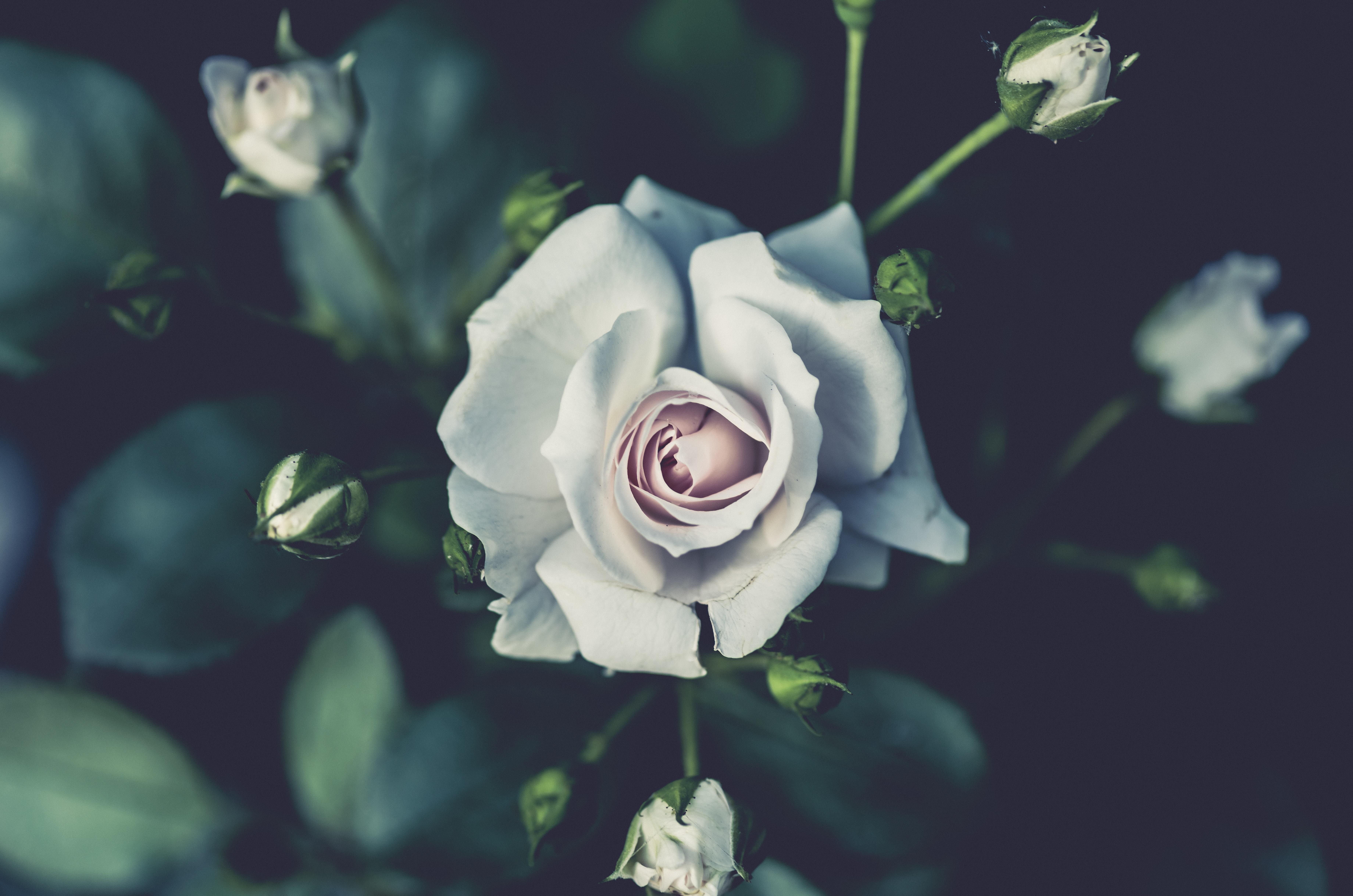обои куст, роза, бутоны, лепестки картинки фото