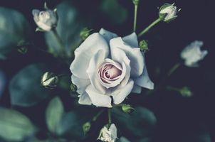 Фото бесплатно куст, роза, бутоны
