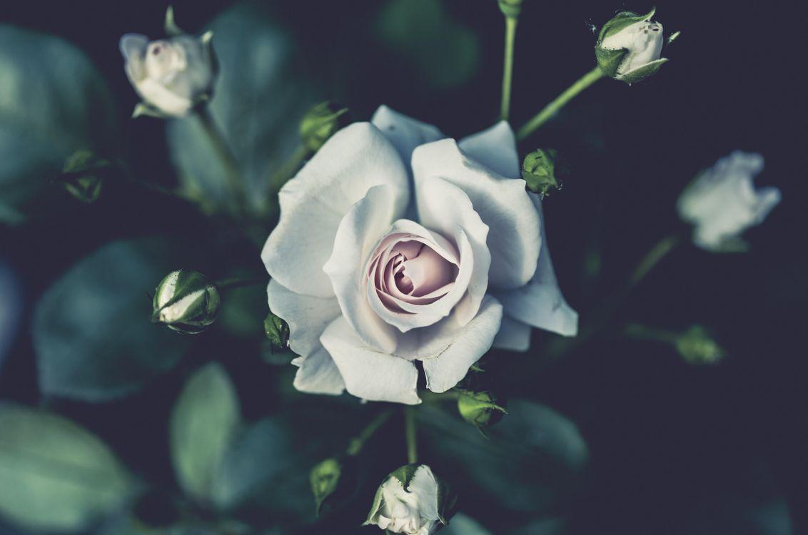 Фото бесплатно куст, роза, бутоны, лепестки, цветы