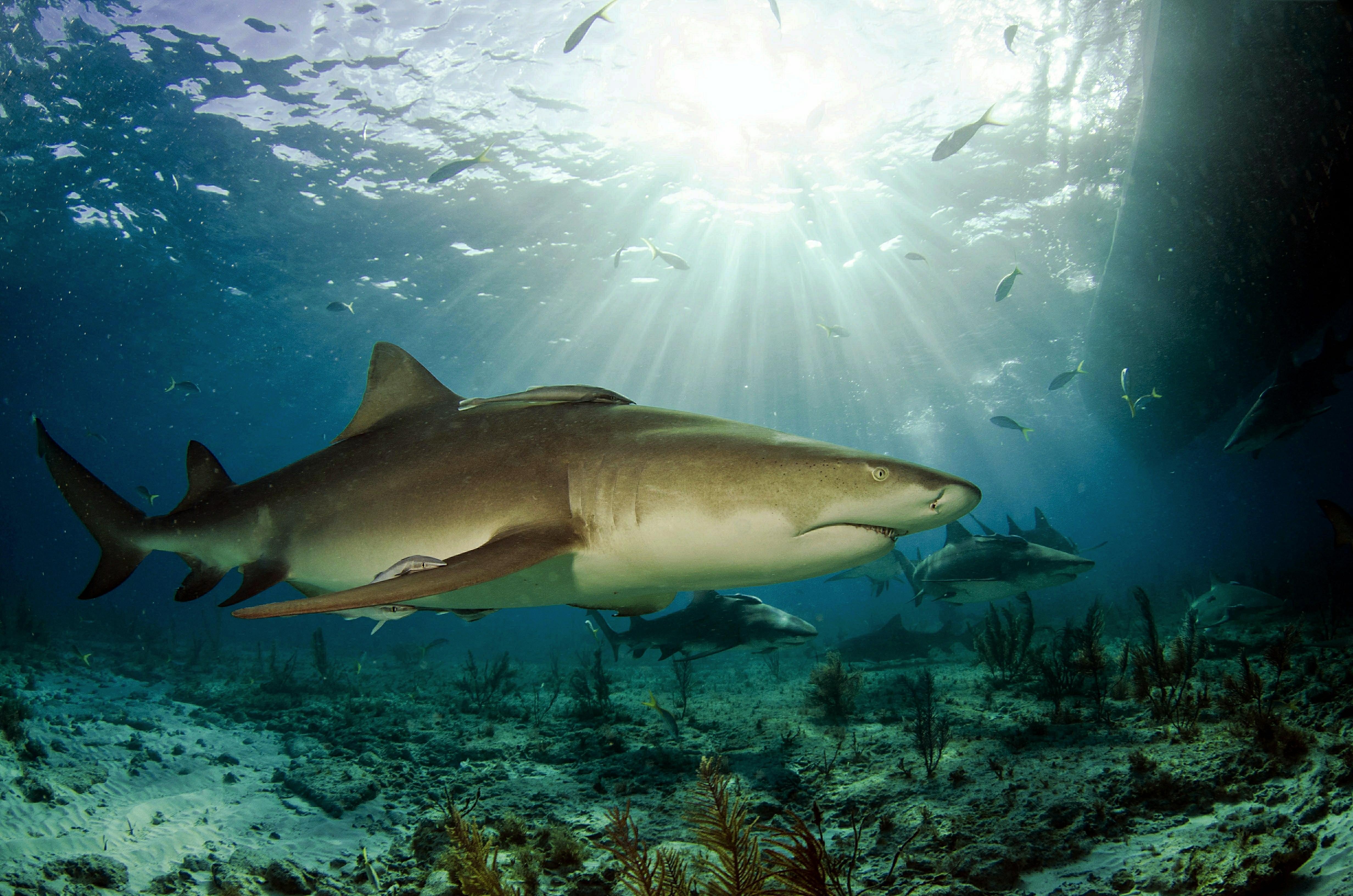 Обои Морские обитатели, Акулы, Акула, море