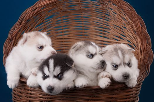 Photo free puppies, dogs, basket