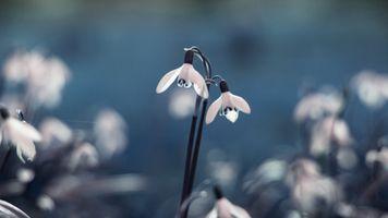 Фото бесплатно подснежники, цветы, макро