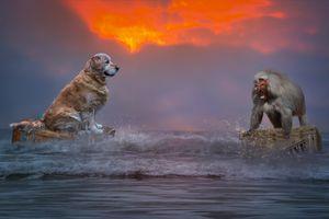 Фото бесплатно золотистый Ретривер, Бабуин море, обезьяна