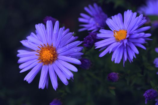 Photo free asters, flowers, flora