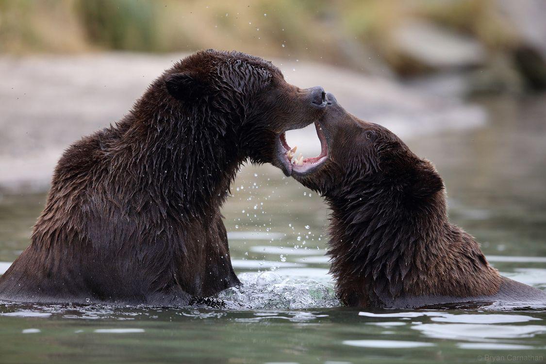 Фото бесплатно медведь, бурый медведь, медведи, животные, хищник, проблемы, сражение, Конфликт, животные