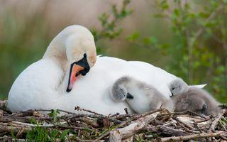 Фото бесплатно птенцы лебедя, лебедь, семья