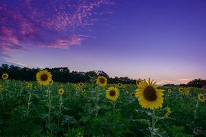 Бесплатные фото закат солнца,поле,подсолнухи,цветы,пейзаж,флора