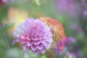 Фото бесплатно Георгин, цвет, флора