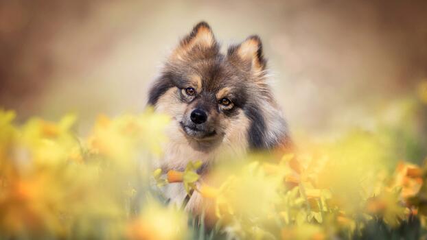 Фото бесплатно милая, собака шпиц, фотографии