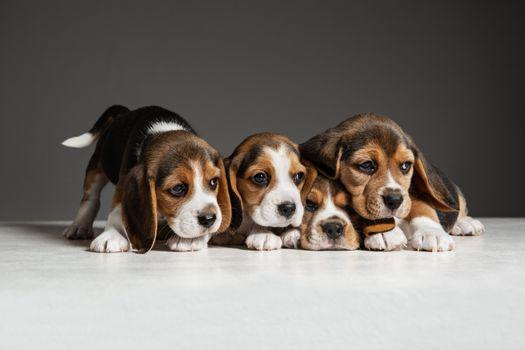 Photo free animal, puppy, beagle