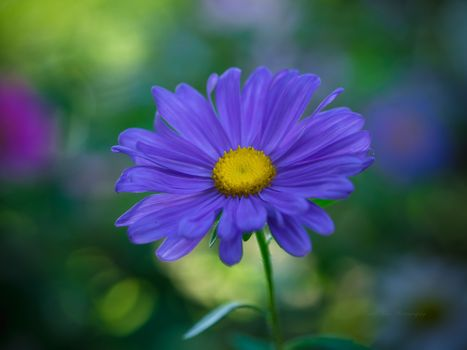 Photo free aster, flower, flowers