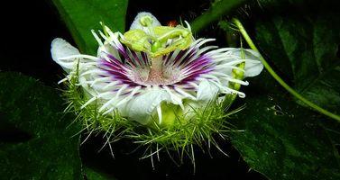 Бесплатные фото Passiflora foetida,Пассифлора,цветок,макро,флора