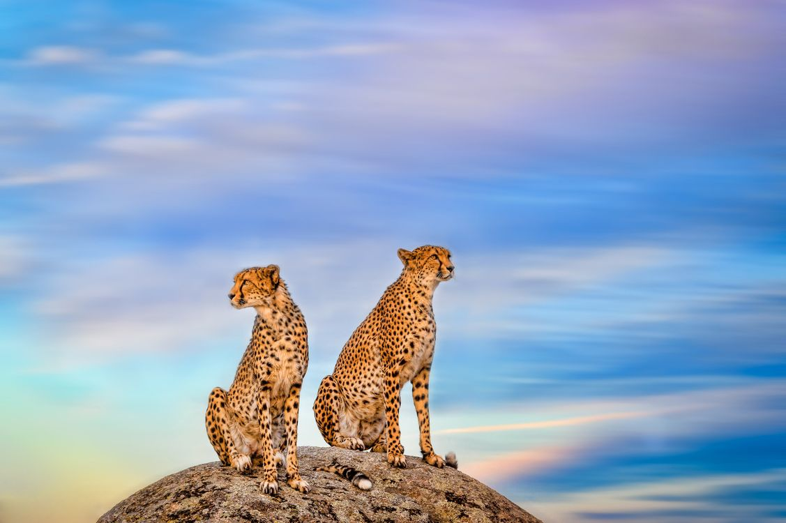 Фото бесплатно гепарды дикие кошки хищник - на рабочий стол
