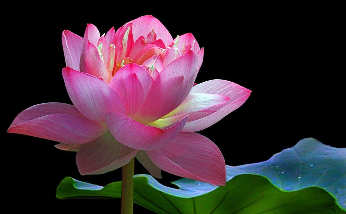 Обои Lotus, лотос, лотосы, водоём, цветы, цветок, флора, водяная красавица, красивый цветок, красивые цветы на телефон | картинки цветы - скачать
