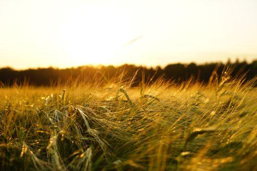 Фото бесплатно природа, ячменное поле, хлопья