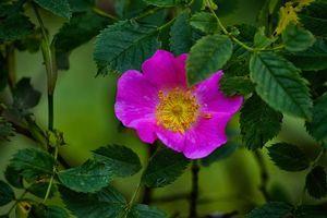 Бесплатные фото роза,цветок,ветки,листья,флора