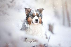 Бесплатные фото австралийский пастух,собака,домашнее животное,животное,зимний,снег,лед