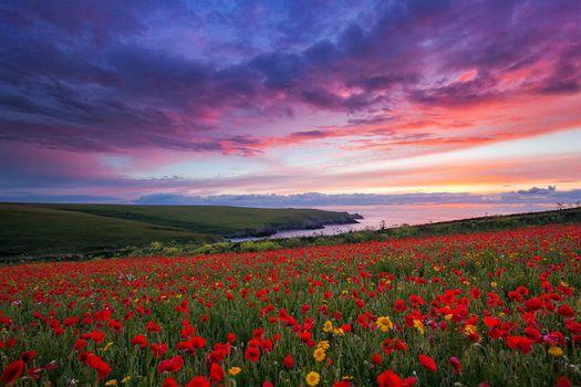 Photo free poppies Poppy field, sea, shore