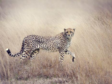 Фото бесплатно гепард, хищник, куст