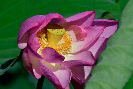 Photo free Lotus, beautiful flower, beautiful flowers