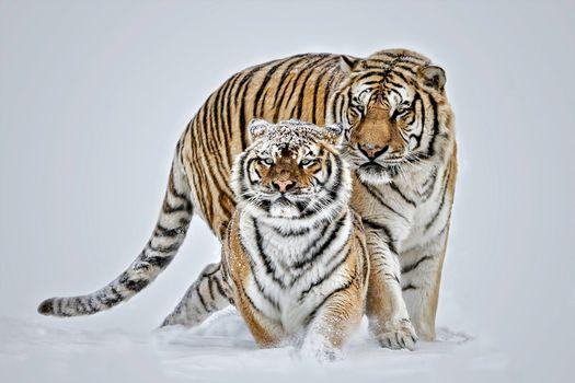 Фото бесплатно зима, снег, хищники