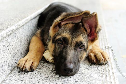 Фото бесплатно немецкая овчарка, собака, ступеньки