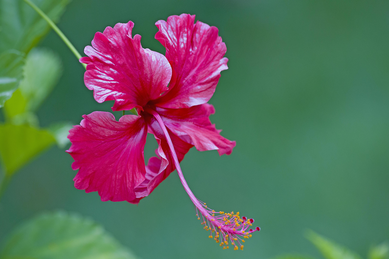 Обои Hibiscus, Гибискус, цветок, флора