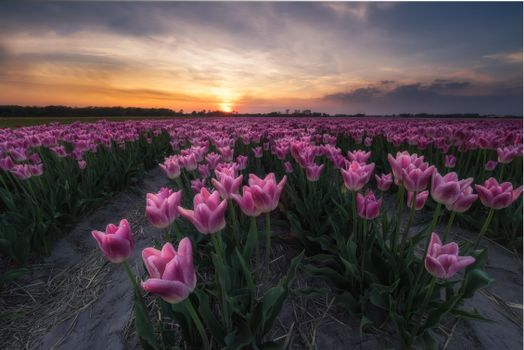 Photo free Tulips in the Netherlands, field, sunset