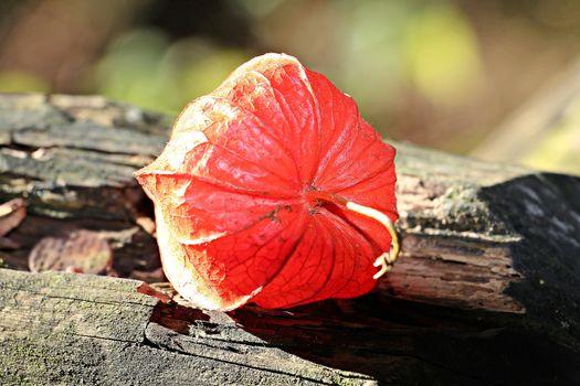Фото бесплатно физалис обыкновенный, дерево, красный