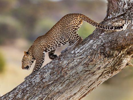 Фото бесплатно леопард, восхождение, дерево