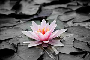 Фото бесплатно парк, водяная лилия, монохромный