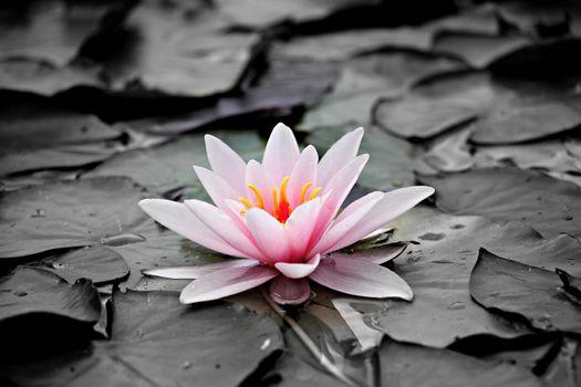 Photo free park, water lily, monochrome