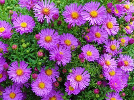 Фото бесплатно цветочный фон, Michaelmas Daisy, Aster amellus