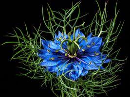 Бесплатные фото Нигелла,Чернушка,цветок,цветы,чёрный фон,макро,флора