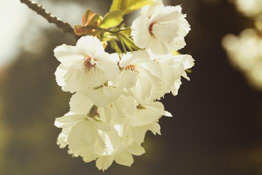 Фото бесплатно белые цветы, цветок, ветви