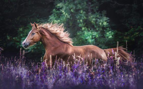 Заставки лошадь, поле, фиолетовые лаванды