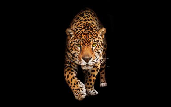Фото бесплатно Ягуар, ходьба, хищник