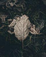 Фото бесплатно лист, мороз, снег, сухой, leaf, frost, snow, dry