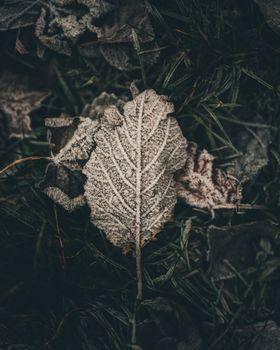 лист, мороз, снег, сухой, leaf