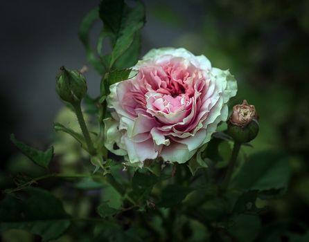 Фото бесплатно роза, цветок, зеленый