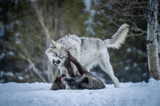 Photo free animal, wolf, fighting
