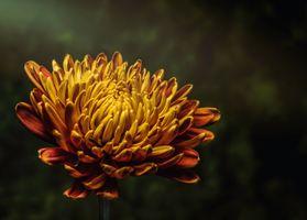Бесплатные фото астры,цветок,бутон,лепестки,aster,flower,bud