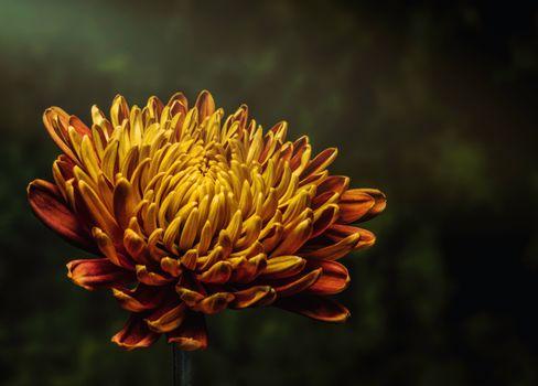 Photo free bud, aster, petals